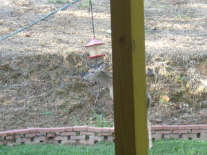Tipping the feeder 8-11-15