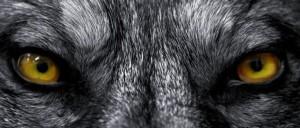wolf-1080-461-1024x437