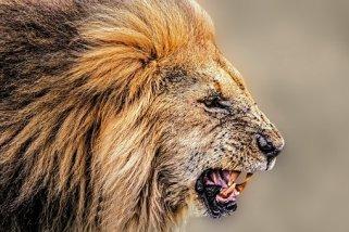 lion-1745289__340